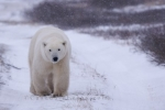 A Polar Bear leisurely strolls along a gravel road in a snow storm near the shores of the Hudson Bay in Churchill, Manitoba.