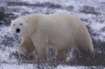 A Polar Bear near the Hudson Bay in Churchill, Manitoba enjoys his walk as winter has arrived and the snow begins to fall but keeps a close eye on us.