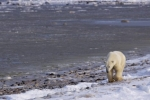 A Polar Bear takes a walk along the icy shoreline of the Hudson Bay in Churchill, Manitoba sniffing out any possibility of food.
