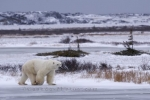 The frozen tundra creates the ideal surface for walking for the Polar Bears who reside around the Hudson Bay in Churchill, Manitoba.