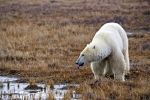 Photo: Polar Bear Water Source Hudson Bay Coastline