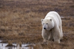 Photo: Polar Bear Watering Hole Churchill Wildlife Management Area