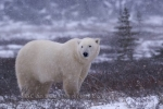 A winter snow storm has finally arrived in Churchill, Manitoba, giving this Polar Bear a glimpse of hope for the meals he has been patiently waiting for.