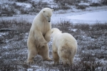 These polar bears seem to be having a small discussion before the sparring match begins in Churchill, Manitoba in Canada.