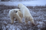 Photo: Polar Bears fighting Churchill