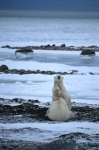 Picture of hugging polar bears in love in Churchill, Manitoba, Canada.