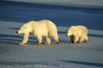Photo: Polar Bears Churchill Manitoba