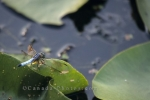 An insect finds a place to rest upon a lily pad in a swampy pond in Algonquin Provincial Park in Ontario, Canada.
