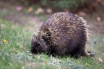 Photo: Porcupine