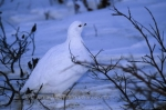 Winter time in Churchill, Manitoba is extremely cold and the plumage of the Ptarmigan changes to white.