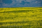 The Qu'Appelle Valley in Saskatchewan, Canada is beautiful during the summer months when the canola fields are adorned in bright yellow hues.