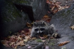Photo: Raccoon Animal Picture