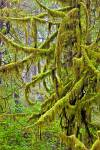 Moss hanging down on branches in the evergreen rain forest on Vancouver Island in British Columbia, Canada.
