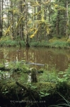A bog encompassed by the growth of the rainforest in McIntyre Bay on Graham Island in the Queen Charlotte Islands in Canada.