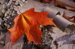Photo: Red Autumn Leaf Algonquin Provincial Park Ontario