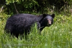 A common wildlife species to see around the wilderness near the town of Red Lake in Ontario, Canada is a Black Bear.