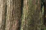 Photo: Renell Sound Old Tree Bark