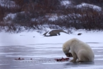 Near the shores of the Hudson Bay in Churchill, Manitoba, a Polar Bear has dragged his meal of Ringed Seal to the surface of a frozen lake to enjoy.