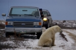 A Polar Bear sits on the side of the road creating a block in the path in Churchill, Manitoba as tourists pull over to snap his picture.