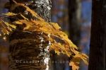 The Autumn colored leaves embrace the bark on a tree along the road to Rock Lake in Algonquin Provincial Park in Ontario, Canada.