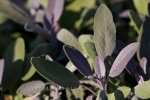A herb which has beautiful purple coloring on the leaves of the sage plant which flourishes in the Montreal Botanical Garden in Quebec, Canada.
