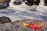 A small display of the color of the Autumn leaves in Lake Superior Provincial Park in Ontario, Canada, are laid out on a large boulder along the banks of the Sand River.