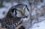 An owl perches upon a branch in the snowy regions of North America.