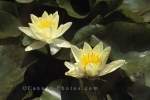 Photo: Yellow Water Lilies