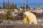 A scenic view of the Hudson Bay in Churchill, Manitoba and a Polar Bear wandering up along the top of the barren rocks.