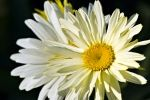 Photo: Shasta Daisy Picture