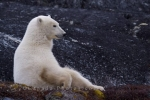 Photo: Sitting Positions Polar Bear Rugged Rocks Churchill