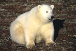 A Polar Bear with his pretty, bright, white coat sitting still as if he is posing for the camera in Canada, North America.