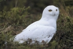 Photo: Snowy Owl Bird