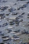 Photo: Spawning Capelin Picture
