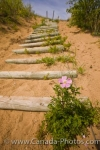 The log steps provide an ideal location for the pretty pink flowers to blossom along the Spirit Sands Trail in Spruce Woods Provincial Park in Manitoba.