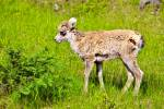Photo: Spring Big Horn Sheep Lamb Banff NP
