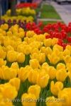 Photo: Springtime Tulips Niagara On The Lake Ontario Canada