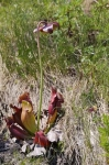 Photo: Tablelands Trail Pitcher Plant Gros Morne National Park