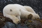 As winter slowly approaches around the Churchill Wildlife Management Area in Churchill, Manitoba this Polar Bear still finds himself very tired.