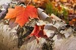 Photo: Tree Bark With Fall Colored Maple Leaves Algonquin Provincial Park