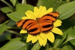 Photo: Tropical Butterfly With Yellow Flower Butterfly Pavilion Newfoundland