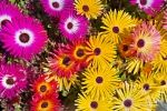 Photo: Vibrant Colored Flowers Livingstone Daisies Picture