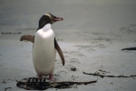 A Yellow Eyed Penguin waddling along the sandy shores near Dunedin on the South Island of New Zealand.