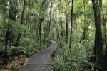 Stroll along the boardwalk in the Waipoua Forest on the North Island of New Zealand and view the Kauri trees.