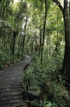 A boardwalk makes it way through the Kauri Trees in the Waipoua Forest on the North Island of New Zealand.