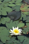 A water lily of yellow and white colors adorns a pond in Algonquin Provincial Park in Ontario, Canada.