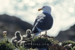 Western Gull in nest with two spotted chicks.