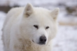 The cute face of a snowy white colored Canadian Eskimo Dog on a private yard in the Hudson Bay area of Churchill, Manitoba.