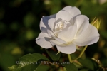 A beautiful flower opens into a prize winning white rose in the Rose Garden at the Montreal Botanical Garden in Montreal, Quebec in Canada.