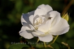 Photo: White Rose Insect Montreal Botanical Garden Quebec